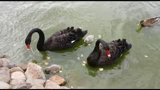 В пруду Толгского монастыря появилось новое поколение лебедей