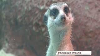 Ярославский зоопарк показал малышей сурикатов