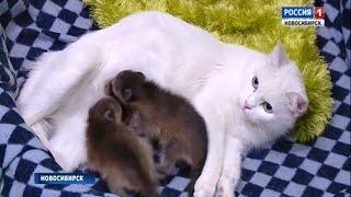 Домашняя кошка заменила маму енотам-малышам в Новосибирском зоопарке