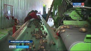 В Новосибирской области начали убирать картофель
