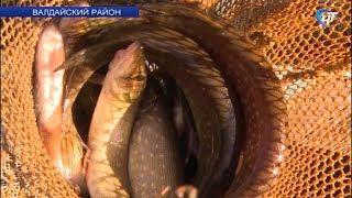 В валдайское озеро Ужин выпустили более тысячи хищных мальков щуки