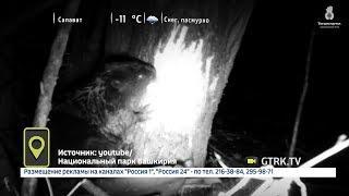Бобра за ужином сняли на видео в Нацпарке «Башкирия»