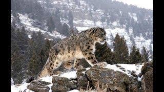 Северный Кавказ станет родиной леопардов
