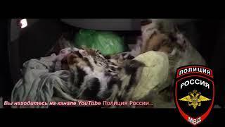 тигр В городе Артеме