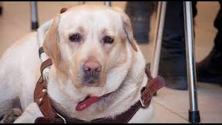 Здоровая среда. Собаки-поводыри для слепых