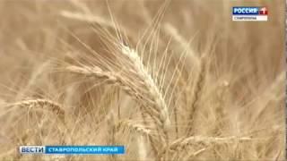 Ставропольское зерно – лучшее в России