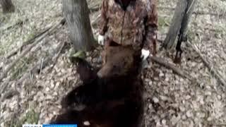 Под Канском ввели карантин из-за заразного медведя