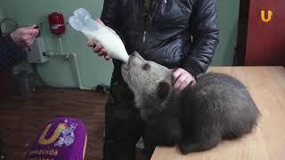 UTV. В уфимском вольере впервые показали новорожденных медвежат