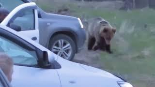 Печора, 31 мая, медведь