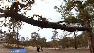 Сосна с острова Ольхон станет участницей конкурса «Российское дерево года 2018»
