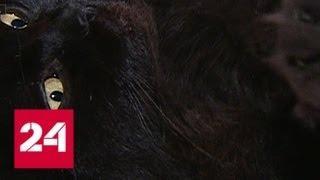 В Москве похищен кот Бегемот - Россия 24