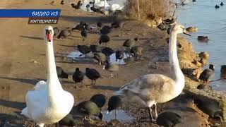 Кормление лебедей может быть опасным