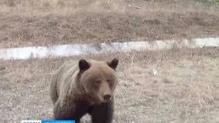 В окрестностях посёлка Стрелка замечены медведи