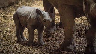 В Англии родился редкий черный носорог
