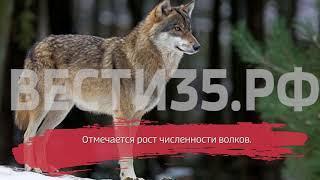 В Вологодской области выросло число волков