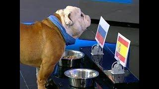 Оракул Буч уверен, что игра России и Испании будет сложной