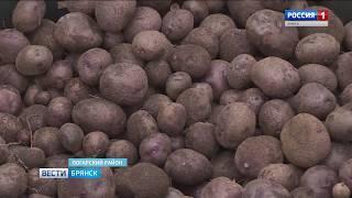 На Брянщине появится новый сорт картофеля