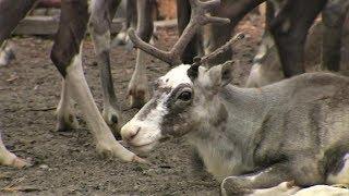 Нефтяники Югры накормят оленей на покачёвских стойбищах