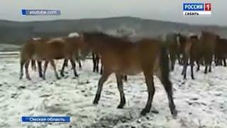 Табун лошадей перешел границу в Омске и мигрировал в Казахстан