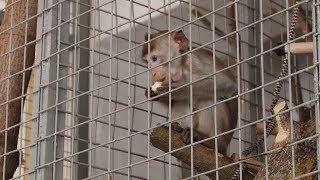 В зоопарк Саранска привезли яванских макак