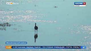 На одно из озёр Алтайского края прилетели цапли