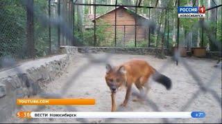 Красные волки из Новосибирского зоопарка переехали в Будапешт