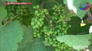 Виноградари Дагестана планируют собрать рекордный урожай, но удастся ли его реализовать?