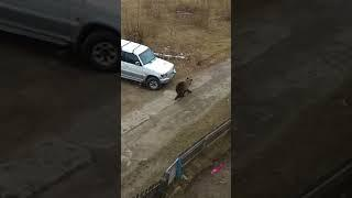 Медведь в Печоре (2)