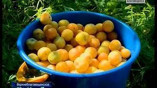 Урожай овощей огорчает некоторых амурских садоводов