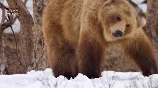 «Медведи Камчатки. Начало жизни»  | Новости сегодня | Происшествия | Масс Медиа