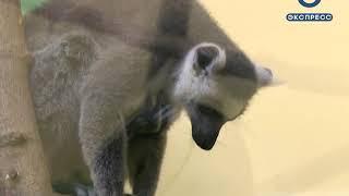 В пензенском зоопарке появились детеныши кошачьих лемуров