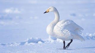 Голландские гости - в Югру прилетели лебеди