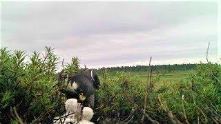 В Югре сняли уникальное видео, как соколы-сапсаны выкармливают птенцов