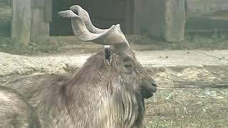 В Ярославский зоопарк привезли кенгуру и мархура