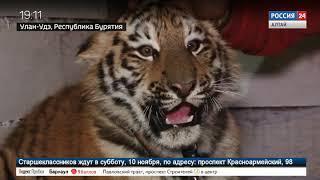 Тигрёнок Ермак из Барнаула адаптируется на новом месте в зоопарке Улан-Удэ