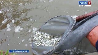 Более миллиона мальков сиговых видов рыб выпустили в пруды близ Камня-на-Оби