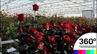 Как готовятся производители цветов в Подмосковье к 8 марта
