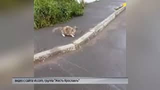 Ярославцы сняли на видео дружбу кошки и крысы