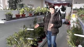 Елки в горшках становятся популярны в Хабаровске