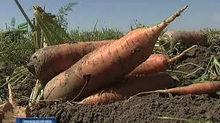 Орошение и автоматизированная уборка - секрет хорошего урожая семикаракорских полей