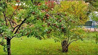 И в саду, и в огороде - 27.08.18 Уход за плодовыми деревьями в августе
