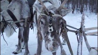 Дорогу пешеходам в Югре не уступают только олени