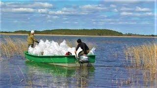 Нефтяники Югры выпустили в рыбопитомник 100 млн личинок пеляди