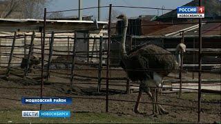 «Вести» познакомились с владельцами фермы черных африканских страусов