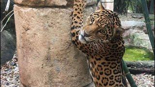 Jaguar escapes captivity at New Orleans Zoo, killing 6 other animals