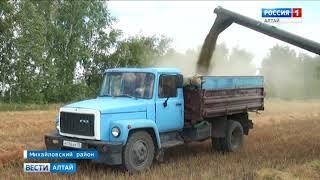 В Алтайском крае начался обмолот чечевицы: механизаторы работают почти без сна
