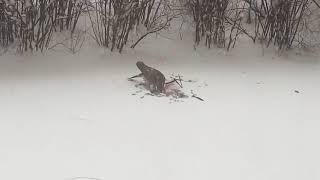 Ястреб терзает голубя в Воронеже