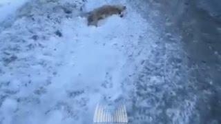 В Североморске сбили лису 18+