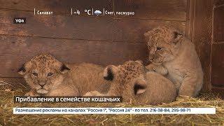 В уфимском зоопарке родились три львёнка