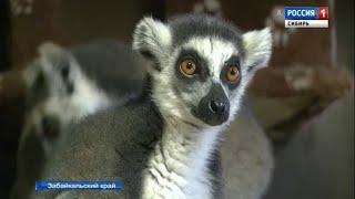 Три лемура прилетели из Чехии в Читу и обосновались в местном зоопарке